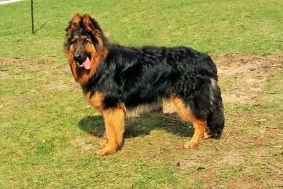Altdeutscher Schäferhund mahagonitan