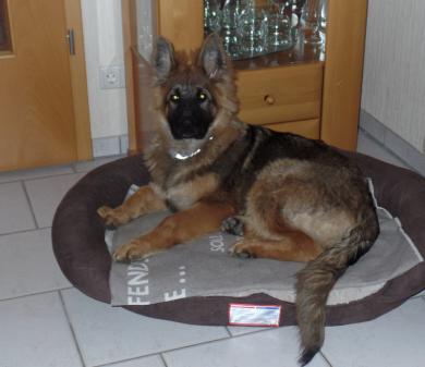 altdeutscher Schäferhund Welpe