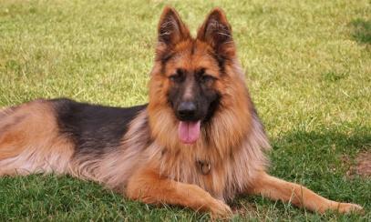 züchter für altdeutsche Schaeferhunde