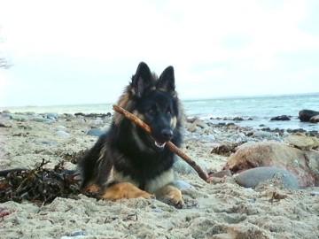sehr schöner altdeutscher Schäferhund