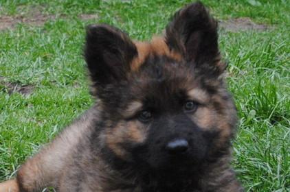 altdeutscher schaeferhund grau/braun