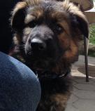 langhaar / altdeutscher schaeferhund welpe