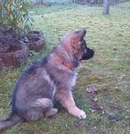 altd. Scaeferhund Welpe Hündin